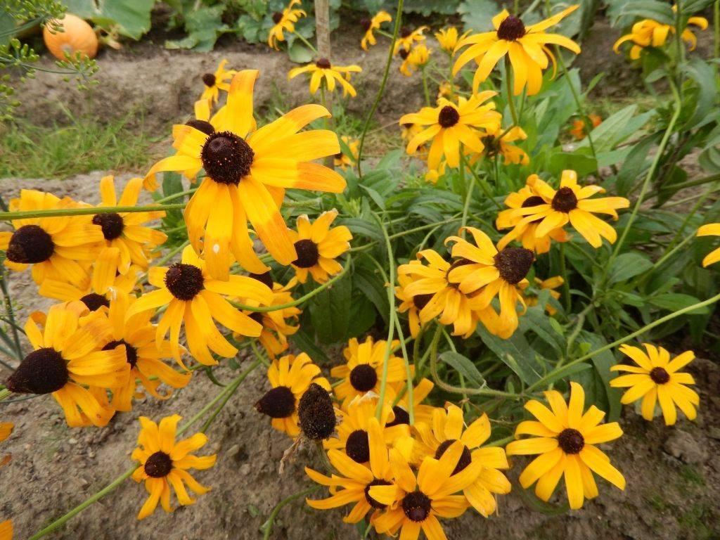Рудбекия многолетняя: сорта, посадка и уход, выращивание из семян