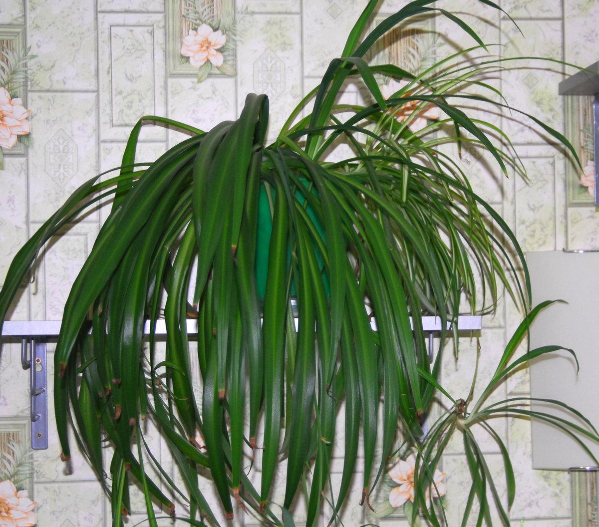 Комнатные растения большие, высокие; напольные домашние цветы с листьями