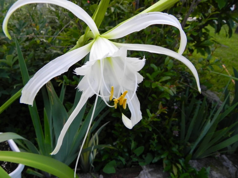 Гименокаллис: описание, фото, уход и выращивание в домашних условиях