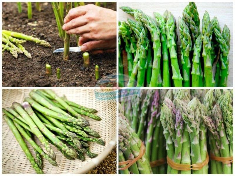 Аспарагус - выращивание из семян. личный опыт