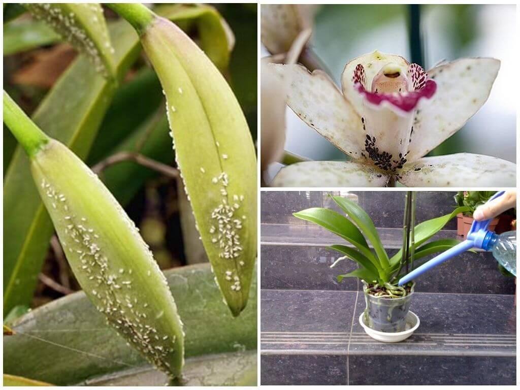 Что делать, если в орхидее завелись мошки?