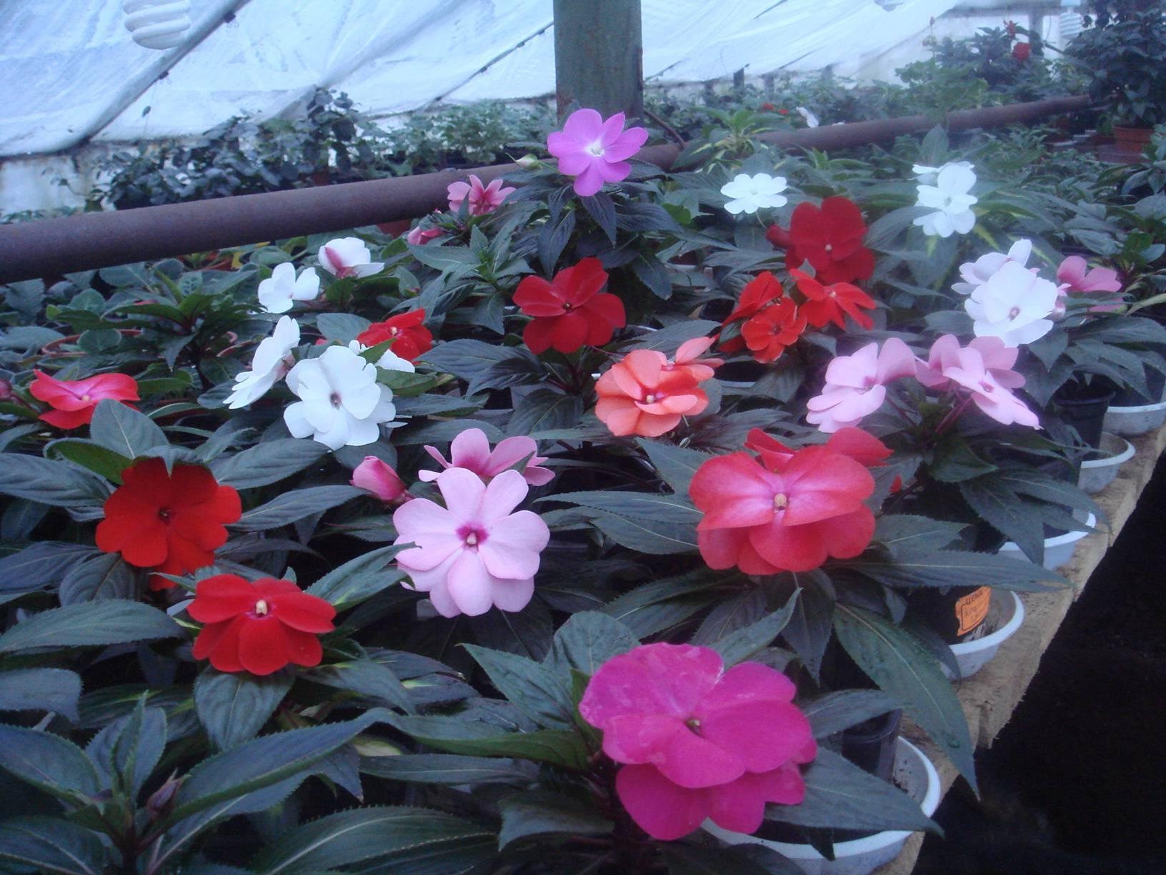 Бальзамин ампельный: посев и условия выращивания из семян в кашпо