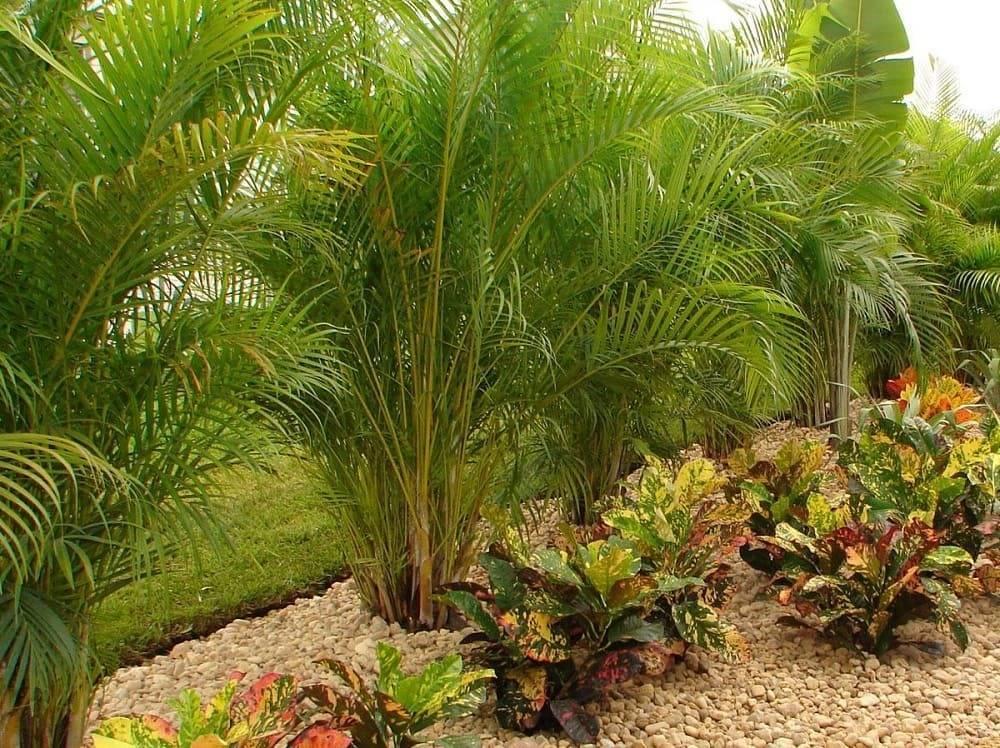 Арека пальма: описание и уход в домашних условиях