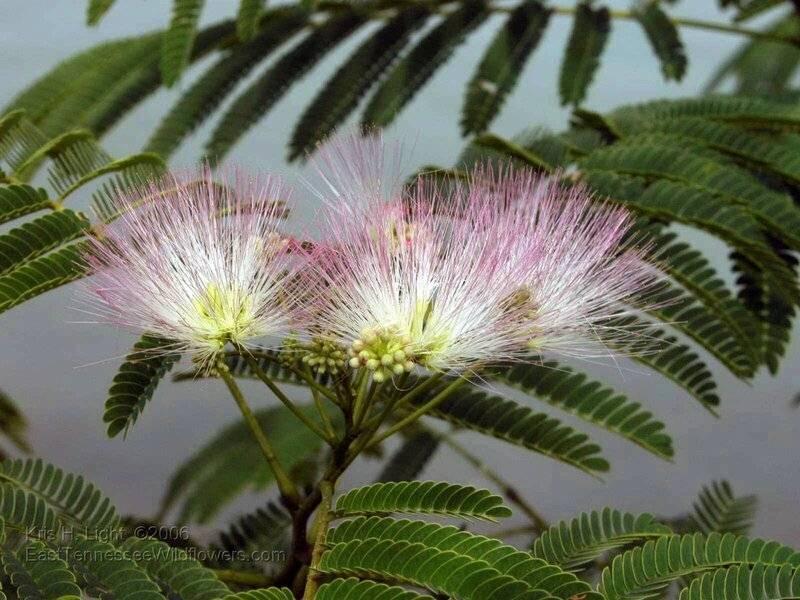 Выращивание мимозы хостилис или mimosa tenuiflora: почему это растение запрещено