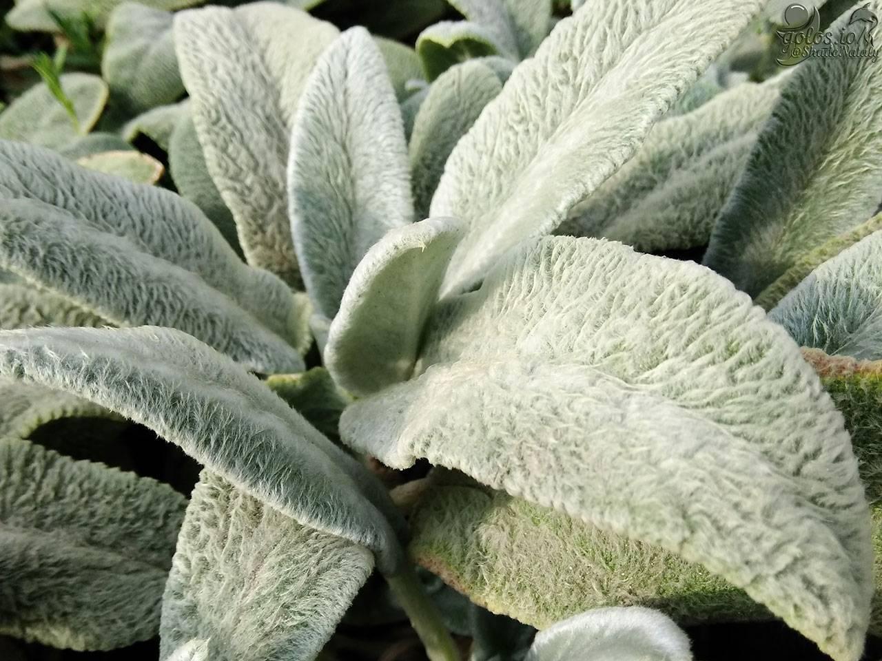 Чистец шерстистый (Stachys byzantina) — посадка и уход за растением