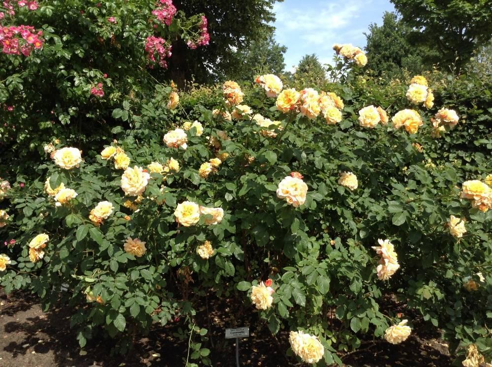 Роза эксцельза (excelsa) — описание сорта