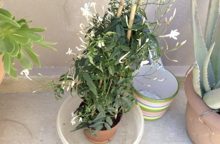Комнатный жасмин — как ухаживать