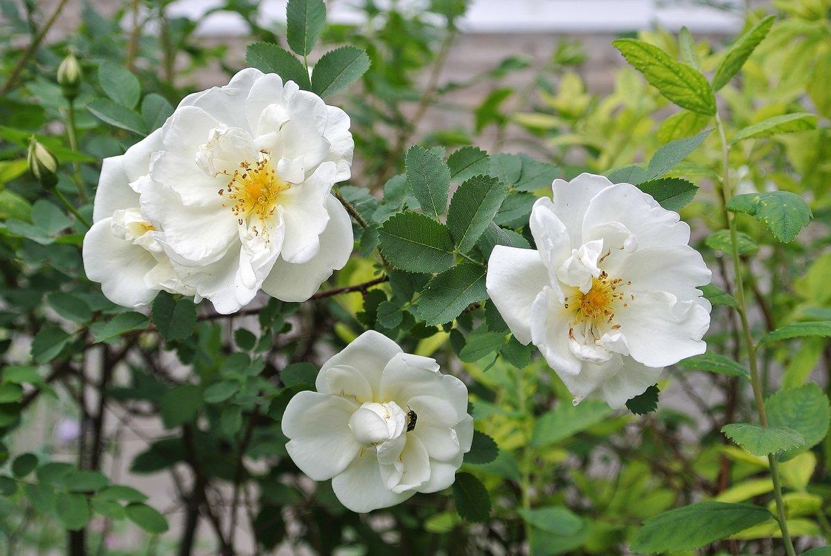Цветы, похожие на розы, но маленькие: лизиантус, ирландская роза, эустома