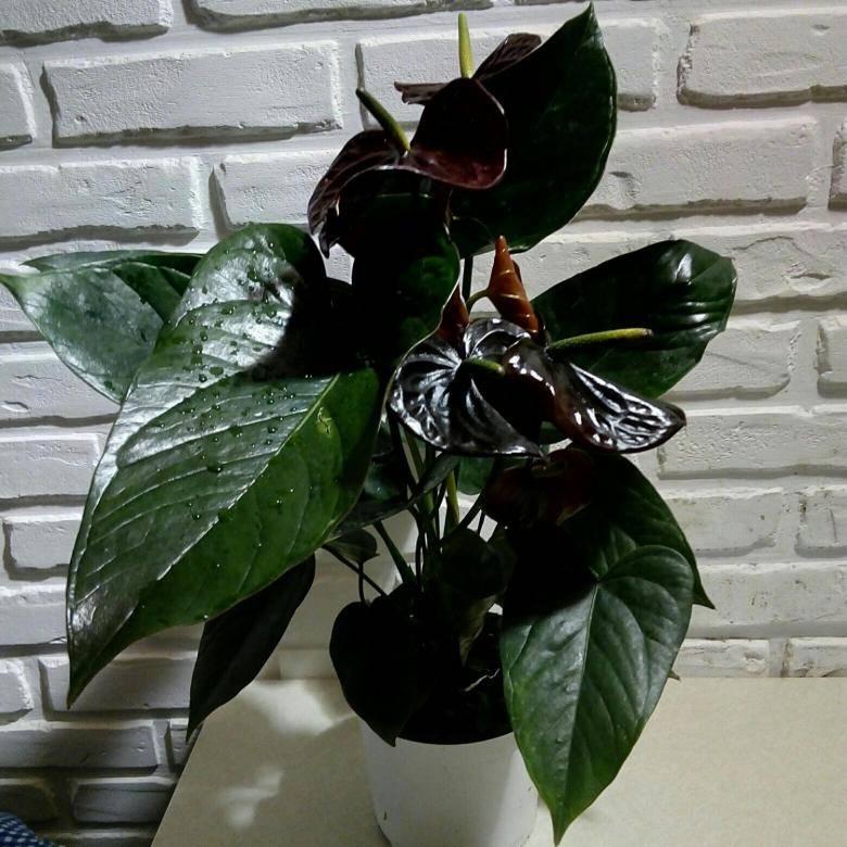 Антуриум чёрный принц: описание, особенности ухода за ним и размножения в домашних условиях, а также фото цветка