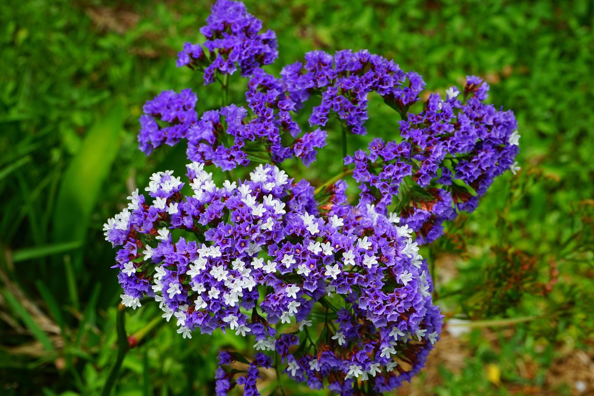 Кермек татарский (статица) — выращивание цветка в саду
