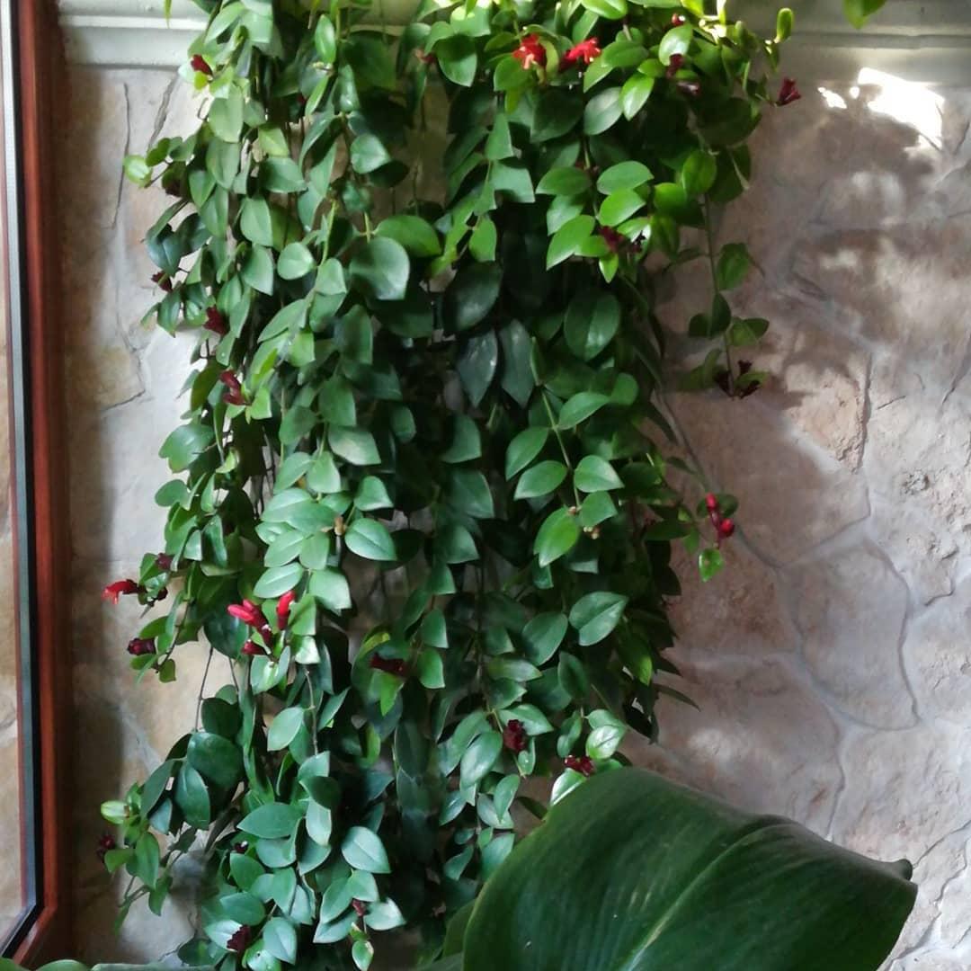 Эсхинантус: уход за цветком в домашних условиях