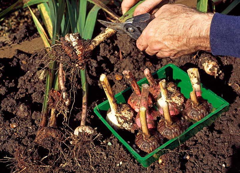 Гладиолусы: когда выкапывать и как хранить луковицы
