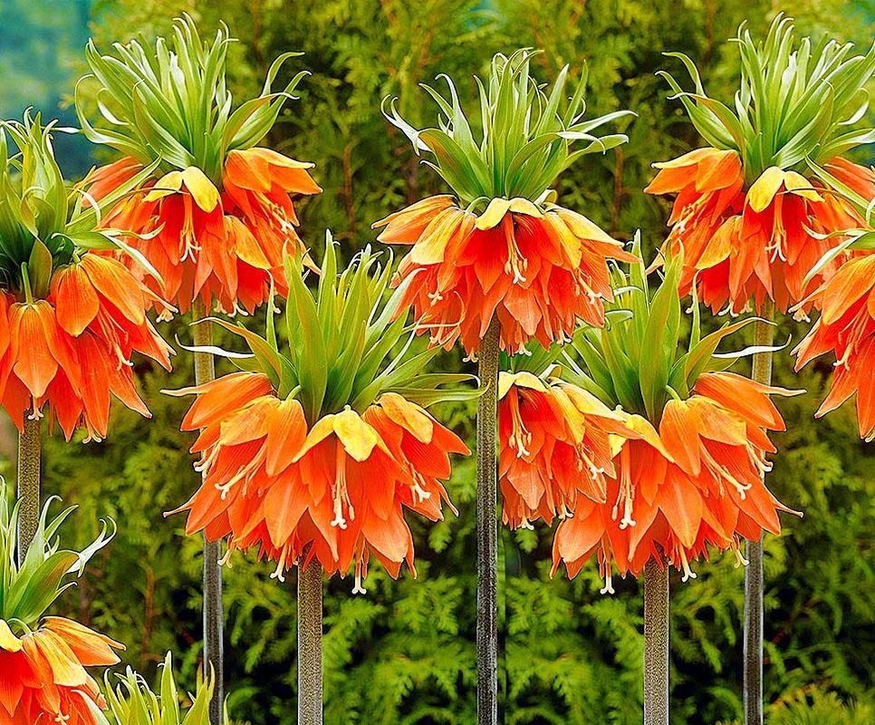Рябчик русский: как выглядит цветок