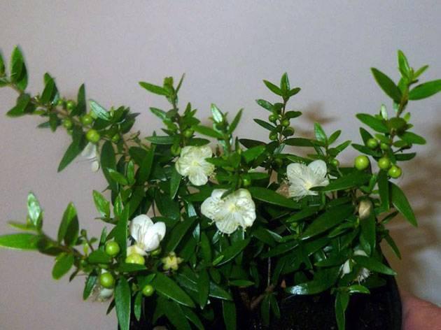 Цветок любви: комнатные растения, приносящее счастье и благополучие в дом