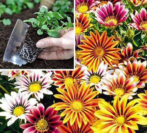 Выращивание рассады гацании из семян и посадка в грунт