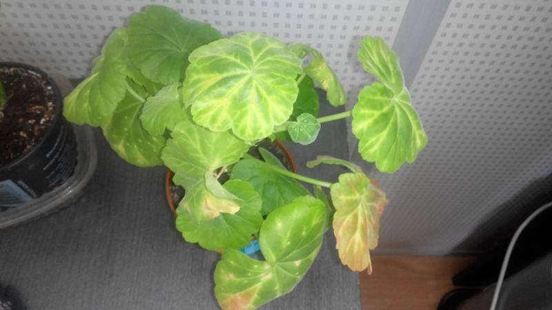 Краснеют, сворачиваются или сохнут листья у пеларгонии: почему это случается и что делать?
