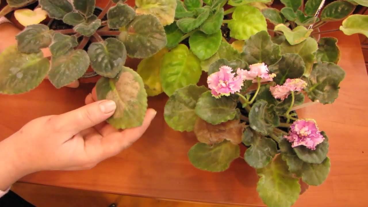 Белый налет на фиалках: что делать, если листья фиалки покрылись белым налетом, похожим на муку? как лечить заболевание?