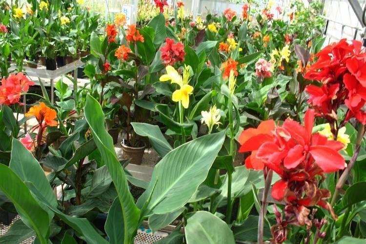 Канны цветы выращивание в саду