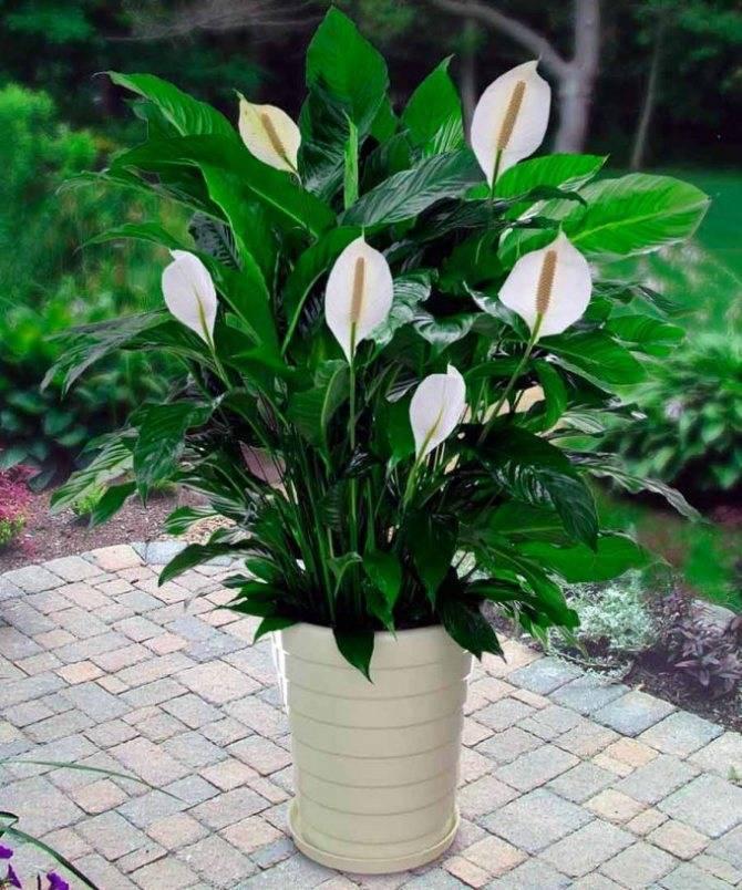 Красный спатифиллум: описание и фото его сортов, уход за растением в домашних условиях и похожие культуры, а также как называется такой цветок женское счастье?