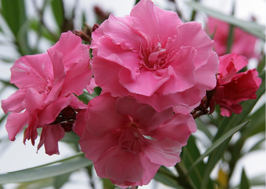 Цветок олеандр уход и выращивание в домашних условиях, фото видов, обрезка и размножение