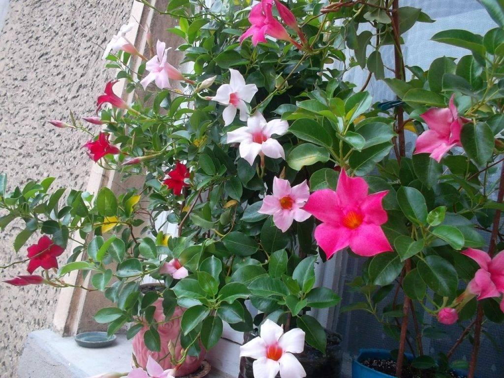 Дипладения или мандевилла уход в домашних условиях выращивание из семян черенкование фото