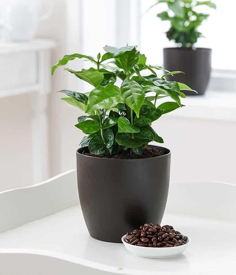 Горшечный кипарис (комнатный): как посадить, выращивать, сохнет и желтеет
