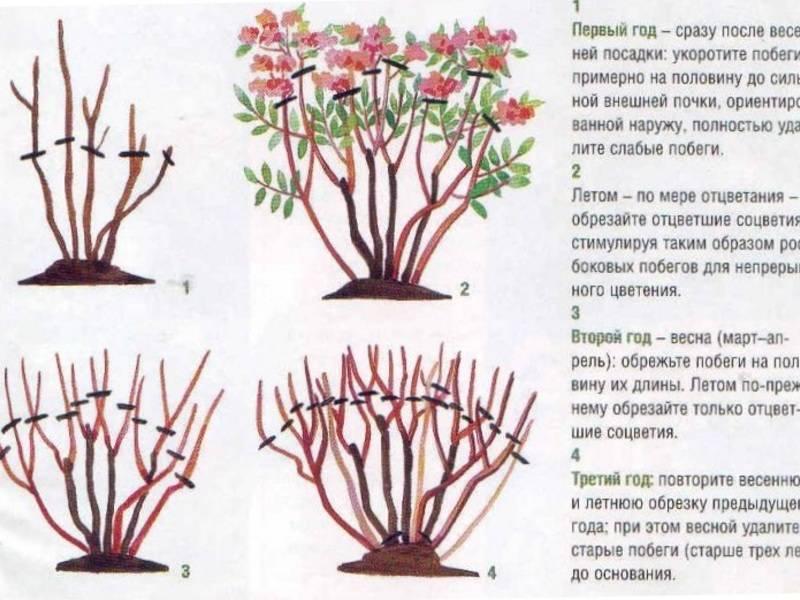 Правила посадки и ухода за обриеттой, высадка в открытый грунт: обрезка, размножение