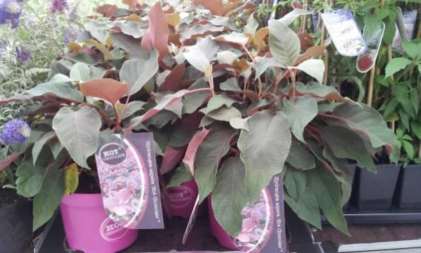 Метельчатые гортензии белые, красные и розовые: размножение, как посадить в саду