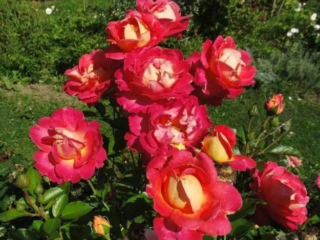 О барбарисе арлекин: описание и характеристики сорта, посадка и уход