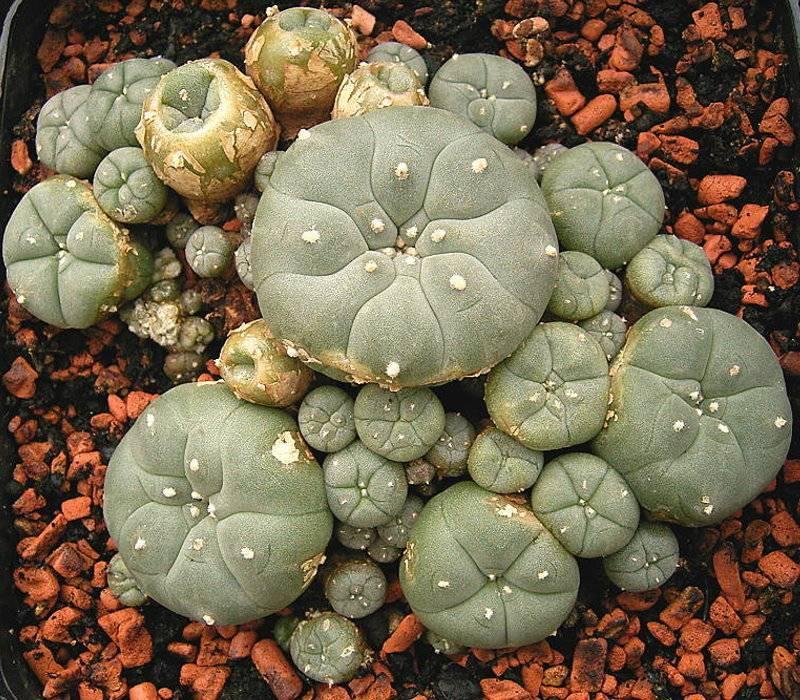 Выращивание кактуса гимнокалициума, виды: как посадить, ухаживать, цветение