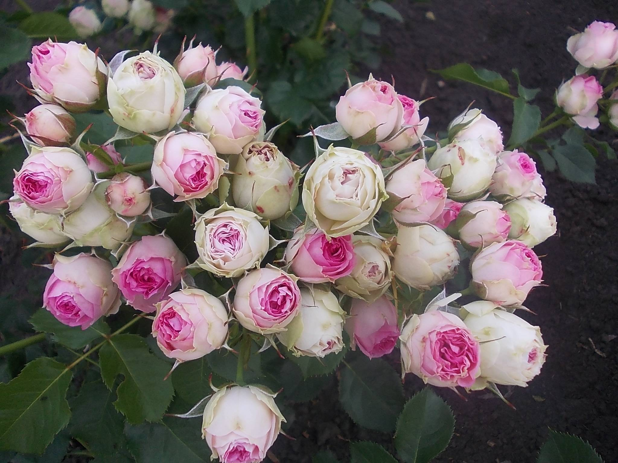 Описание сорта плетистой розы джардина: агротехника выращивания, как ухаживать