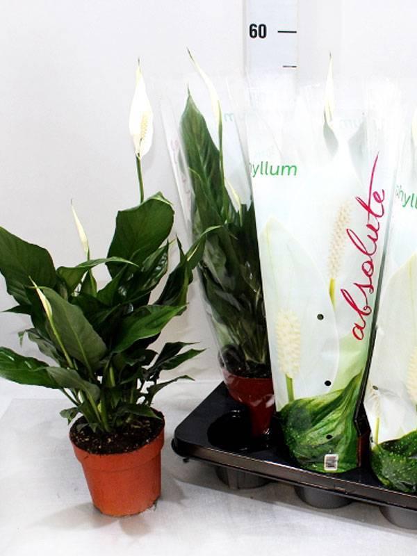 Все особенности спатифиллума свит: знакомимся с чико и другими сортами этого необыкновенного растения