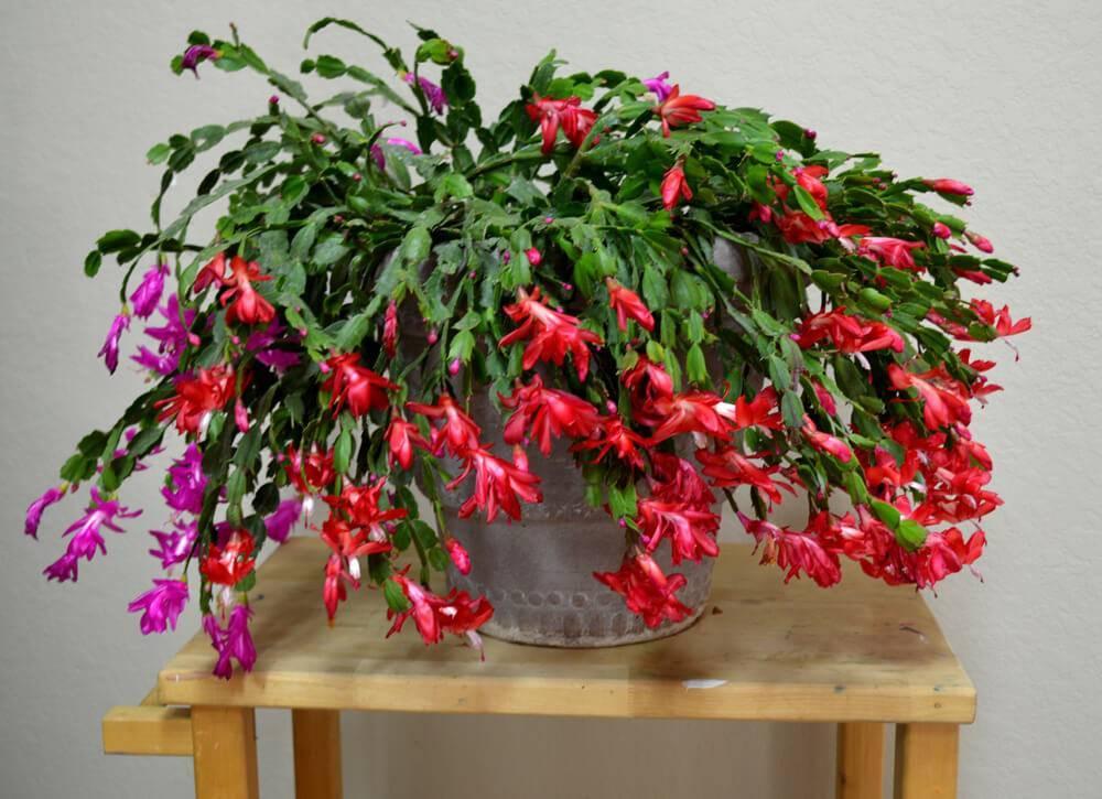 Пересадка каланхоэ в домашних условиях после покупки: правильный уход и цветение