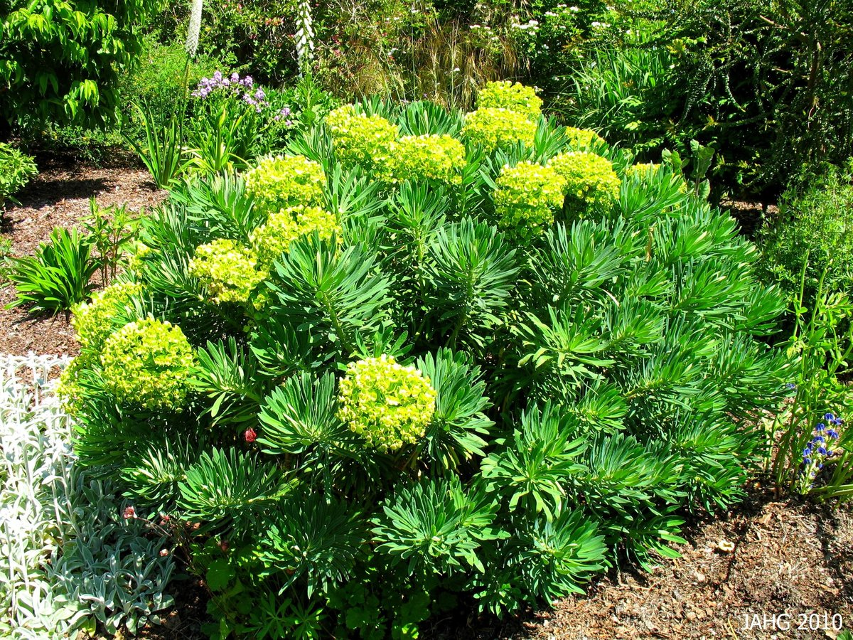 Молочай: фото и описание растения эуфорбия