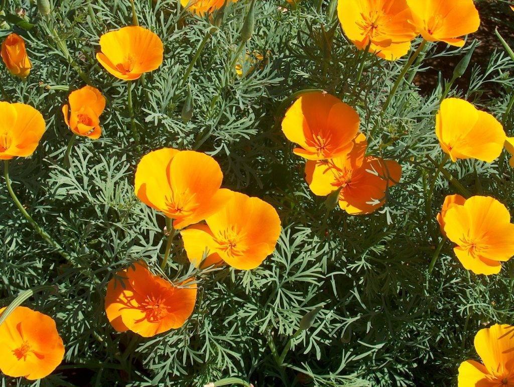 Цветок каллизия ползучая — описание и уход