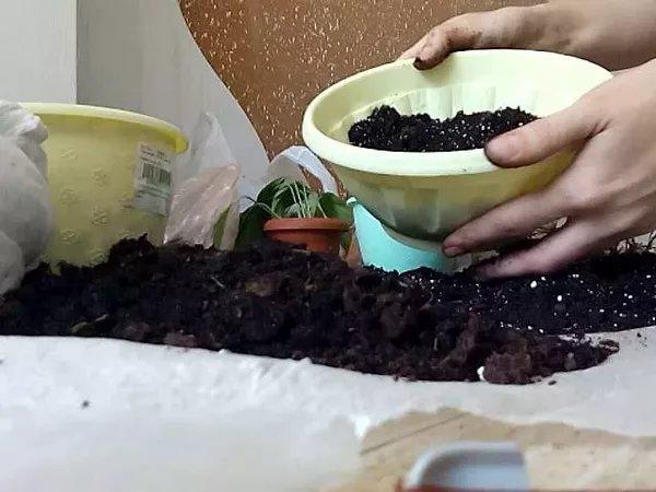 Калатея : уход в домашних условиях, пересадка растения