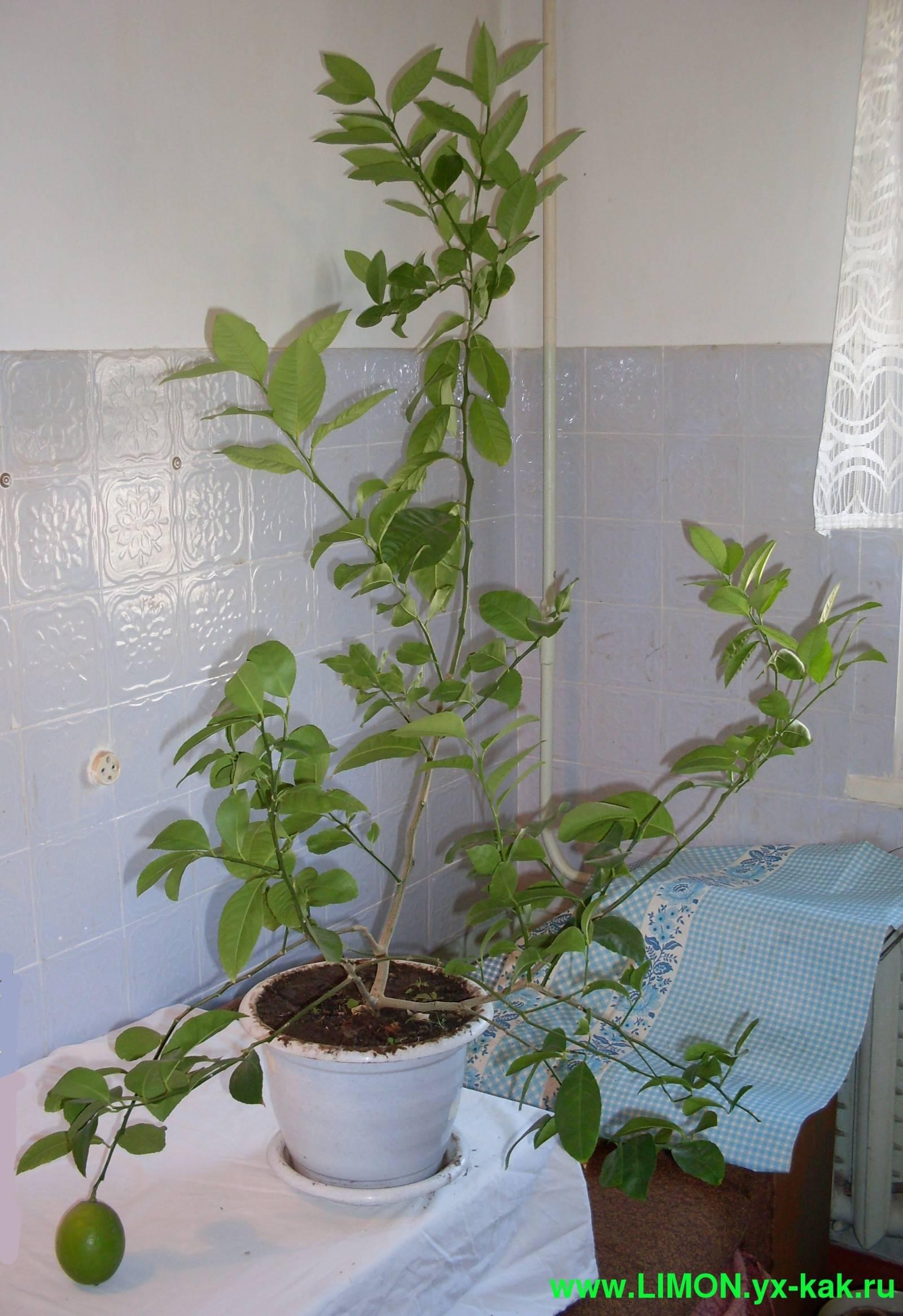 Лимонник китайский — как правильно посадить
