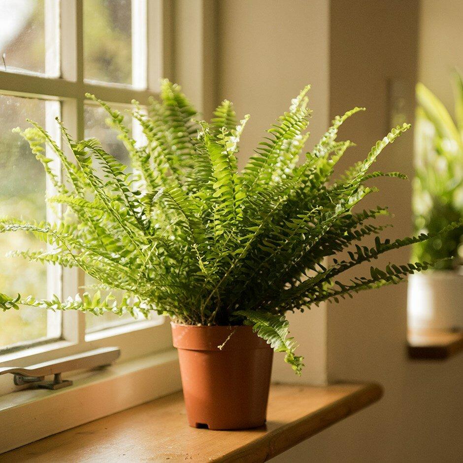 Как правильно и когда можно пересаживать папоротник комнатный в домашних условиях
