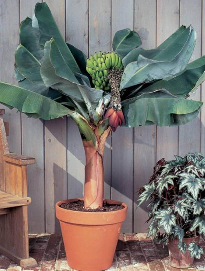 Как вырастить банан дома?