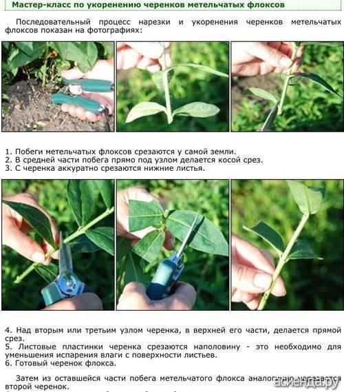Как правильно размножать флоксы методом черенкования в летнее время