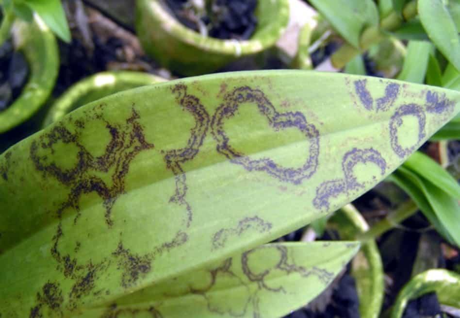 Вот, что нужно знать о болезнях листьев орхидей, их лечении и о том, как они выглядят на фото