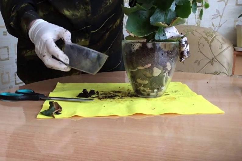 Как пересадить каланхоэ? условия ухода за растением