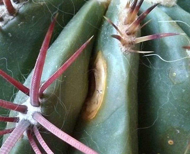Можно ли спасти погибающий кактус и как правильно это сделать? причины недуга и советы по уходу