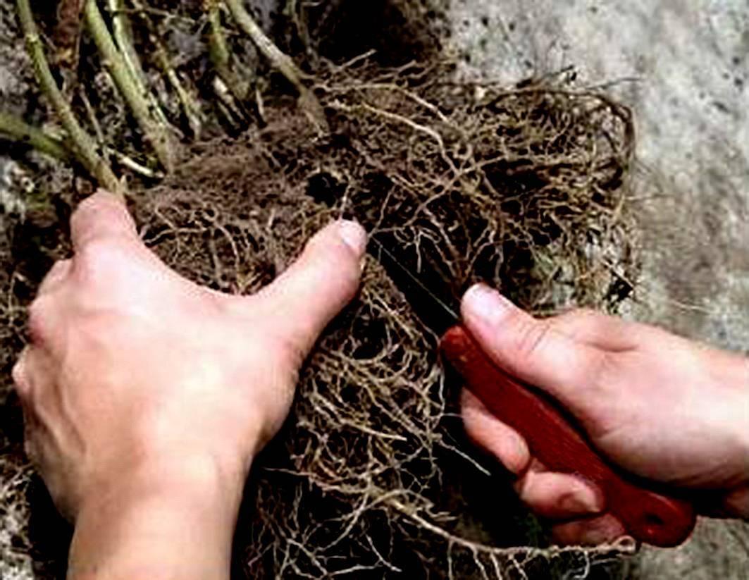 Как размножается мальва — способы рассадки