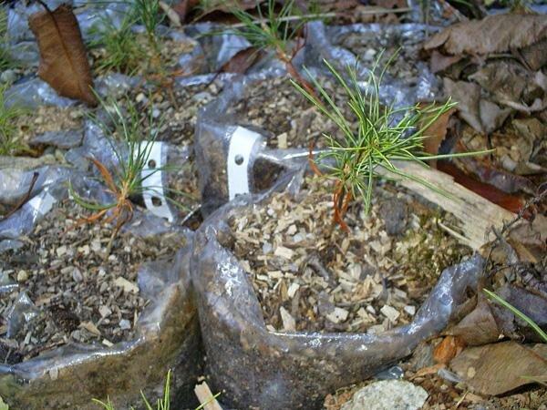 Кедр из орешка в домашних условиях — как вырастить лес из шишки