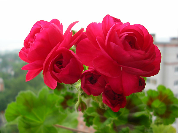 Внешнее описание пак вива розита пеларгония, советы по выращиванию и уходу. фото цветка