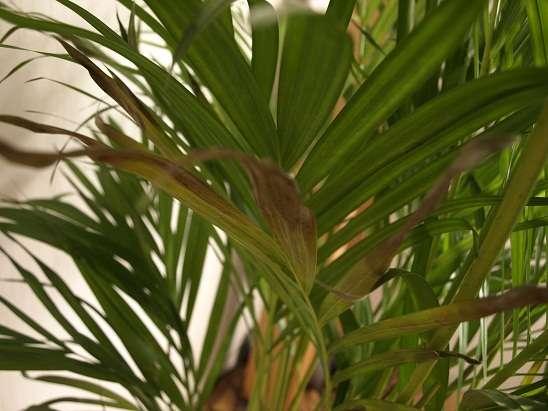 Хризалидокарпус (chrysalidocarpus). правила ухода, выращивания и пересадки.