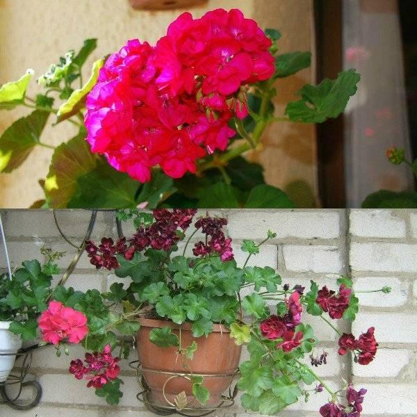 Пеларгония (79 фото): особенности ухода за геранью в домашних условиях, советы для начинающих. посадка в горшке и в саду