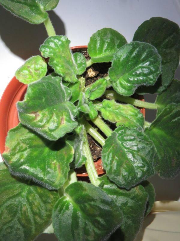Почему желтеют листья у фиалки: проблемы, вредители, болезни