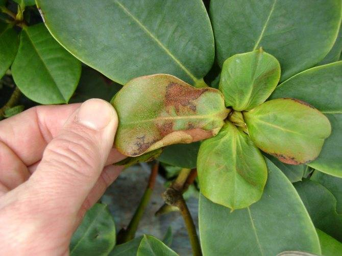 Почему желтеют листья у рододендрона и что делать